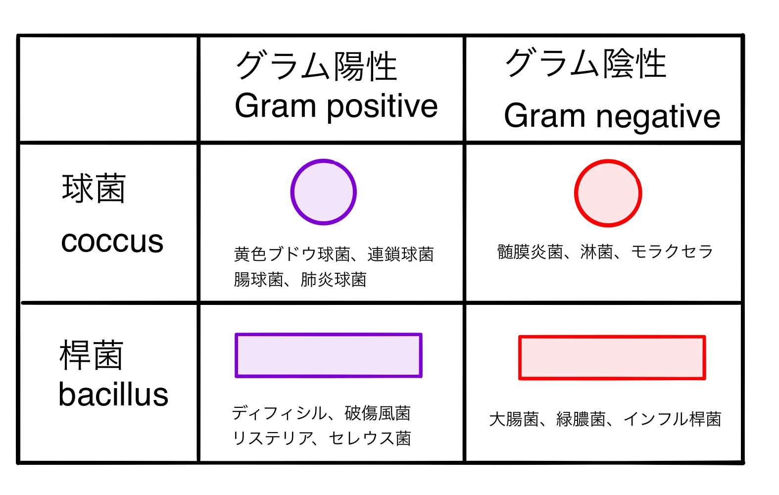菌 ゴロ 陽性 グラム